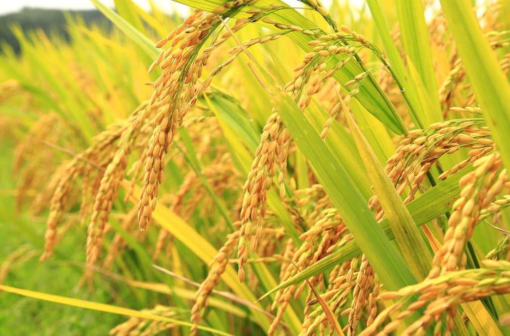 Variability estimation and genetic parameter analysis of indigenous aromatic rice