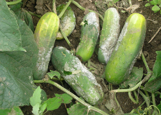 Performance evaluation of cucumber genotypes grown in Narsingdi region of Bangladesh