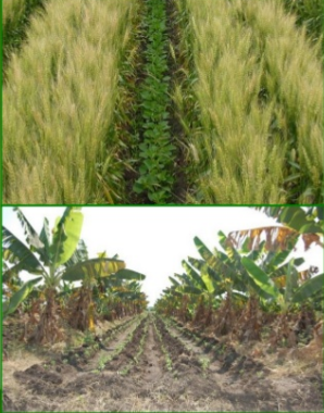 Development of alternate cropping pattern incorporating kenaf at char land areas in two selected district of Bangladesh