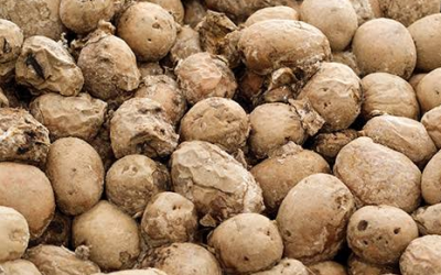Estimation of loss for storage diseases of potato in some city/town markets of Bangladesh